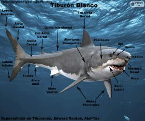 Puzle Části bílého žraloka