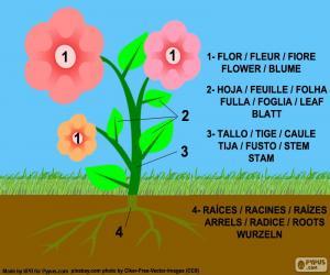 Puzle Části rostliny