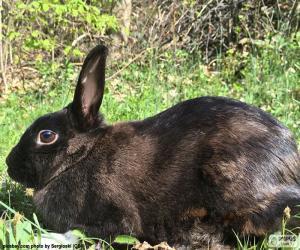 Puzle Černý králík