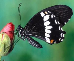 Puzle Černý motýl