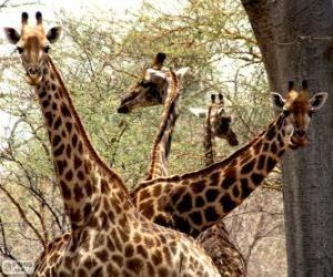 Puzle Čtyři žirafy