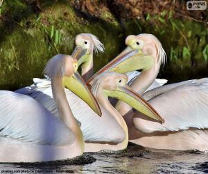 Puzle Čtyři růžové pelikánů