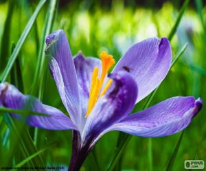 Puzle Šafrán květ