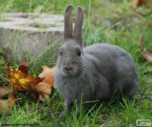 Puzle Šedý králík