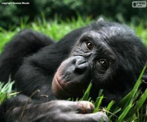 Puzle Šimpanz bonobo