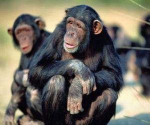 Puzle Šimpanz sedí na podlaze