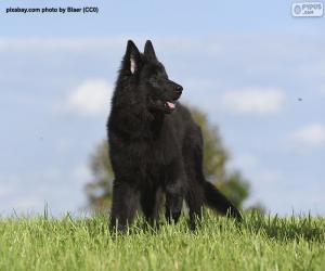 Puzle Štěně belgického ovčáka groenendael