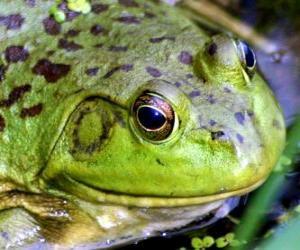 Puzle Žába