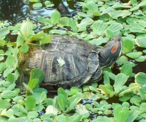 Puzle Želva nádherná