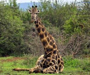 Puzle Žirafa odpočívá