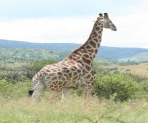 Puzle Žirafa při pohledu na krajinu