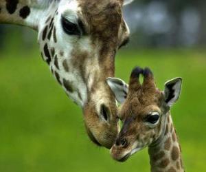 Puzle žirafa s dítětem