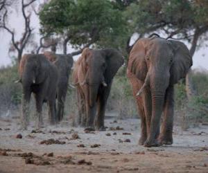Puzle Africké slony