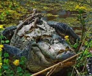 Puzle Americký aligátor, jeden z největších krokodýlů v Americe, chráněný druh v USA