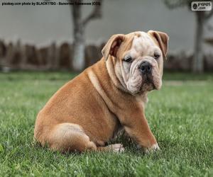 Puzle Anglický buldoček štěně