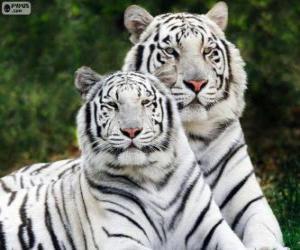 Puzle Bílá bengálských tygrů