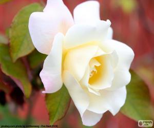 Puzle Bílá růže