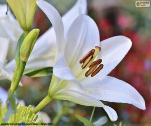 Puzle Bílé asijské lilie