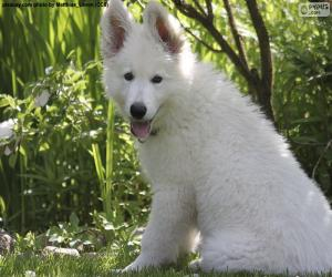 Puzle Bílý švýcarský ovčák pes štěně