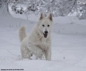 Puzle Bílý švýcarský ovčák
