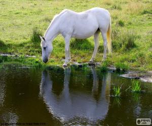 Puzle Bílý kůň, pití