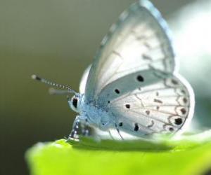 Puzle Bílý motýl