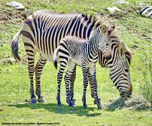 Puzle Baby Zebra a její matka
