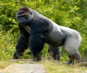 Puzle Big gorila