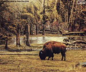 Puzle Bison pastva