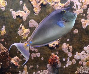 Puzle Bluespine unicornfish