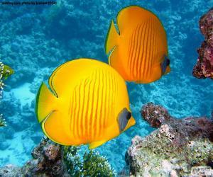 Puzle Butterfly ryby citrón