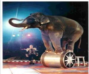 Puzle Cvičil se slon jednají v cirkusu chůzi na válec