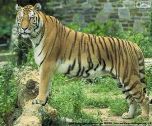 Puzle Dospělý tygr