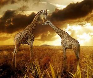 Puzle Dvě žirafy za soumraku