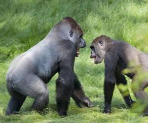 Puzle Dvě mladé gorily chůze na všech čtyřech