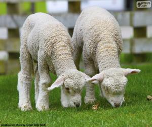 Puzle Dvě něžné ovce