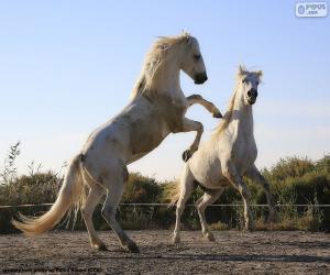 Puzle Dva bílí koně