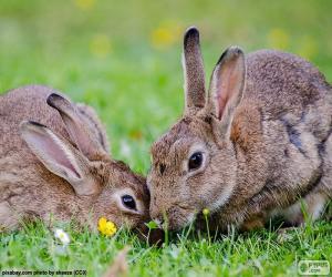 Puzle Dva králíky jíst