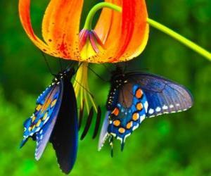 Puzle Dva motýli na květině