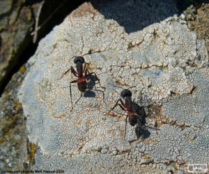 Puzle Dva mravenci