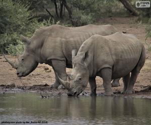 Puzle Dva velcí bílí nosorožci