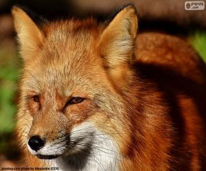 Puzle Fox hlava
