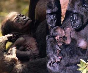Puzle gorila rodina