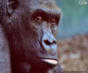 Puzle Hlava gorila