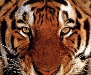 Puzle Hlava tygra