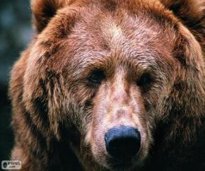Puzle Hlava velkého medvěda