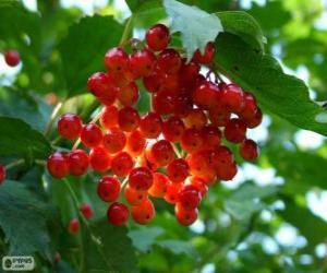 Puzle Holly s červeným ovocem