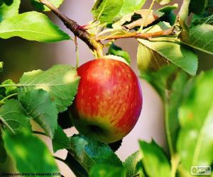 Puzle Jablko na stromě