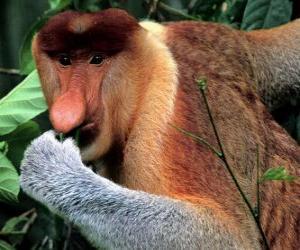 Puzle Kahau nosatý ( Nasalis larvatus ) je úzkonosý primát z čeledi kočkodanovití. Žije výhradně v jihovýchodní Asii na ostrově Kalimantan.