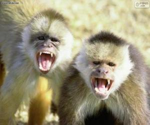 Puzle Kapucínský opice